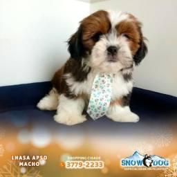 Lhasa Apso Macho disponível na Snow Dog Shopping Cidade