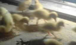 Filhotes de marrecos branco de pompom