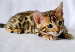 Bengal -gato leopardo
