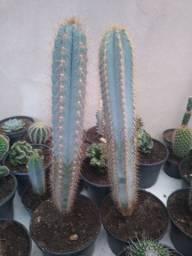 Cacto pilosocereus azureus mandacaru azul