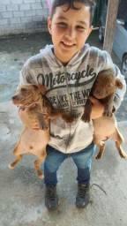 Vendo filhotes de pitbull barato p sair reais chama zap *