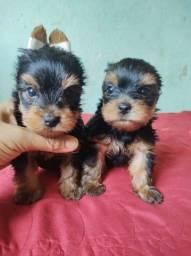 Título do anúncio: Filhotes de yorkshire Terrier Machos Disponível Preço Especial para vender logo