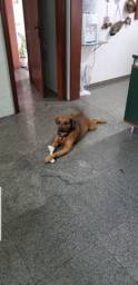 Boxer com Rottweiler Boxweiler