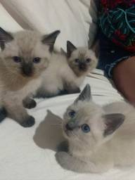 Título do anúncio: Gatinhos filhotes siamês macho e fêmea