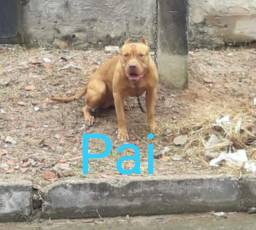 Raça Pitbull