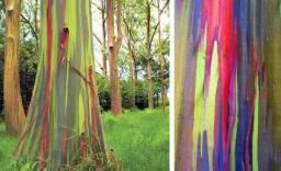 Mudas de eucalipto arco-íris whats app