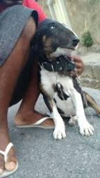 Bull terrier inglês filhote aceito trocas