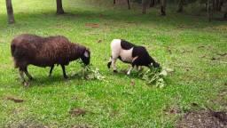Ovelha com Filhote