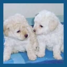 Belos bebês de poodle
