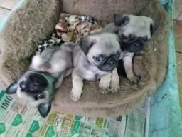 Lindos bbs de Pug somente machos