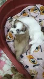 Estou vendendo esses cachorrinhos da raça lhasa tem um macho e uma fêmea