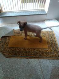 Cachorro Red Heeler