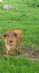 Vaca girolanda