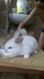 Mini coelho mini lyon