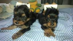 Filhotes yorkshire terrier Micro!