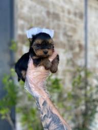 Yorkshire Terrier padrão e micros pronta entregaa 11.9.4064.9984