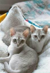 Singapura lindos filhotes