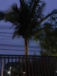 Vendo palmeira para retirar da terra