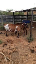 Vende se ou troca Mini vaca