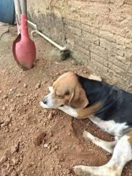 Um cachorro beagle