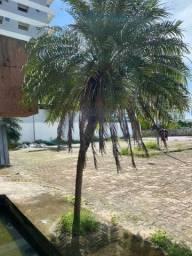 Palmeira Fenix adulta 2m plantas jardim casa
