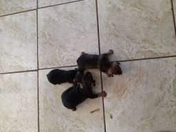 Cachorro pinscher 1