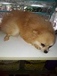Tenho uma lindo  cachorro p venda.