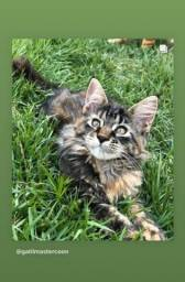 Filhote gato raça Maine Coon
