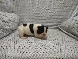 Filhotes de Bulldog Francês com pedigree CBKC