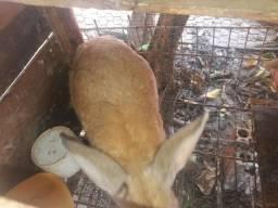 Casal de coelhos adultos