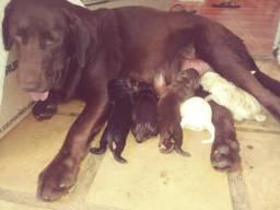 Filhotes de Labradores puro como vê nas fotos.