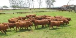 Super pacote (  -20 fêmeas Senepol vazias, prenhas e paridas + Brinde 1 touro