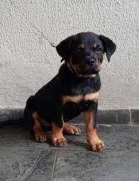 Filhote fêmea de Rottweiler de com 3 meses de idade Urgente!
