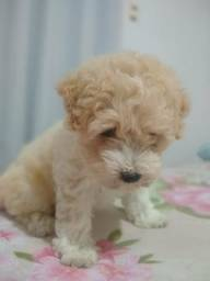 Poodle toy macho Ha pronta entrega com garantia de tamanho e pureza em contrato