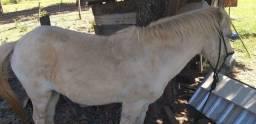 Cavalo Pitiço branco