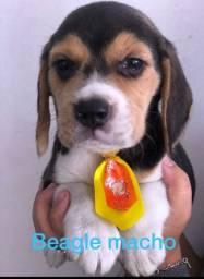 Beagle macho na promoção venha conferir