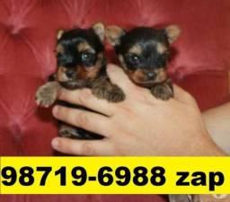 Canil Filhotes Cães Líder BH Yorkshire Maltês Beagle Lhasa Shihtzu Basset Bulldog Pug