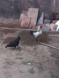 Vende- se casal de galinha ganizé