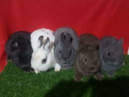 Venda de coelho anao Netherland