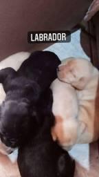 Filhotes de labrador