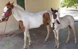 Título do anúncio: Vendo Égua + Potro (Paint Horse) + Sela completa