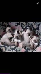 Procuro para adotar gatinhos siameses
