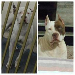 Filhote de American Pitbull Terrier