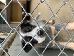 Cães Boiadeiro Australiano, burriler- R$ 250,00