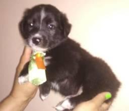 Poodle com Maltês valor 180 entregamos fofinhos