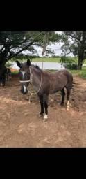 Vendo égua crioula muito mansa