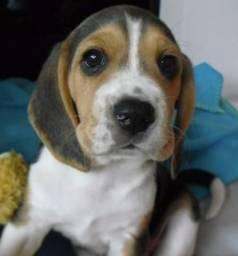 Filhotes de Beagle 13 Polegadas