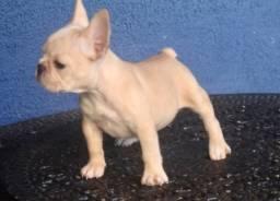 Bulldog Francês fêmea em 10 x no cartão sem juros