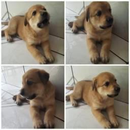 Filhote de Labrador macho 2 meses