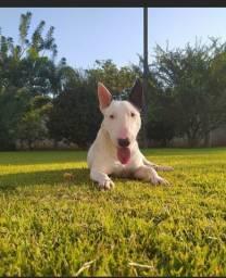 Bull Terrier macho cobertura cruza